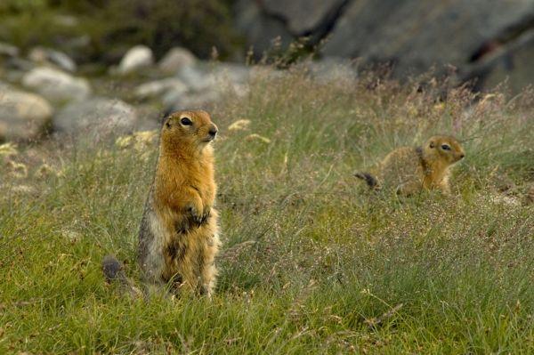 Arctic Ground Squirrel | Spermophilus parryii photo