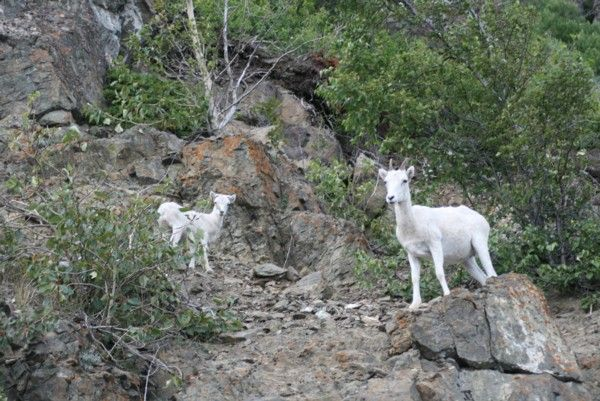 Dall's Sheep | Ovis dalli photo