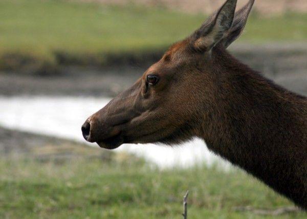 Elk | Cervus elaphus photo