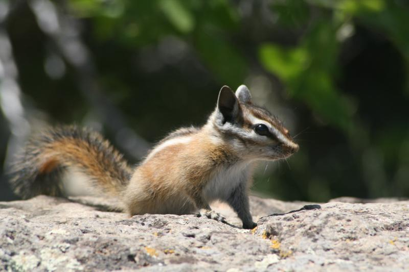 Hopi Chipmunk | Tamias rufus photo