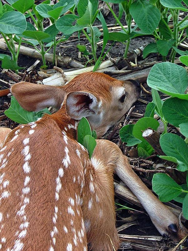 White-tailed Deer | Odocoileus virginianus photo