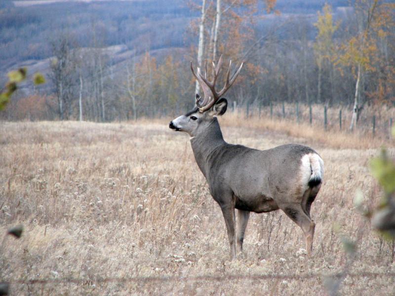 Mule Deer   Odocoileus hemionus photo