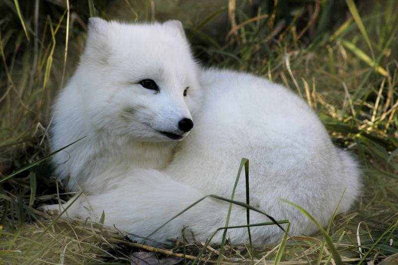 Arctic Fox | Alopex lagopus photo
