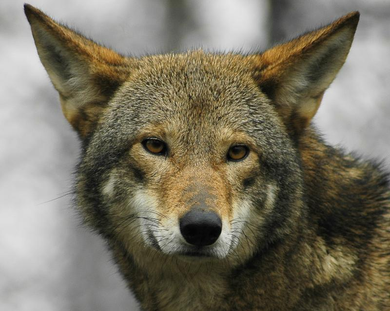 Red Wolf | Canis rufus photo