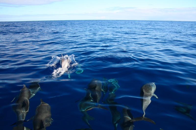 Atlantic Spotted Dolphin | Stenella frontalis photo
