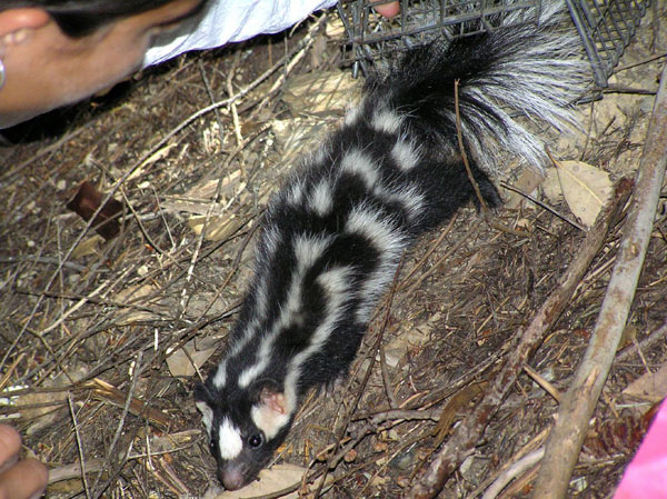 Western Spotted Skunk | Spilogale gracilis photo