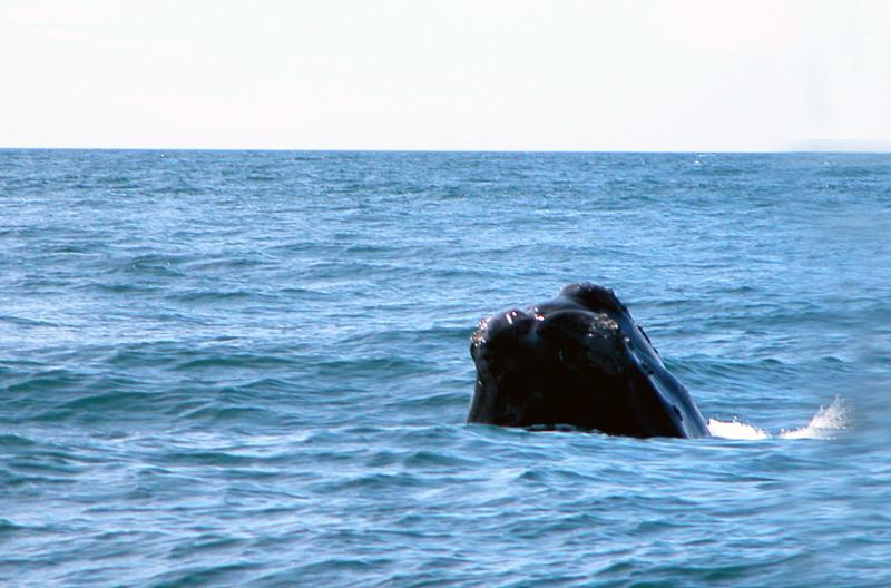 North Atlantic Right Whale   Eubalaena glacialis photo