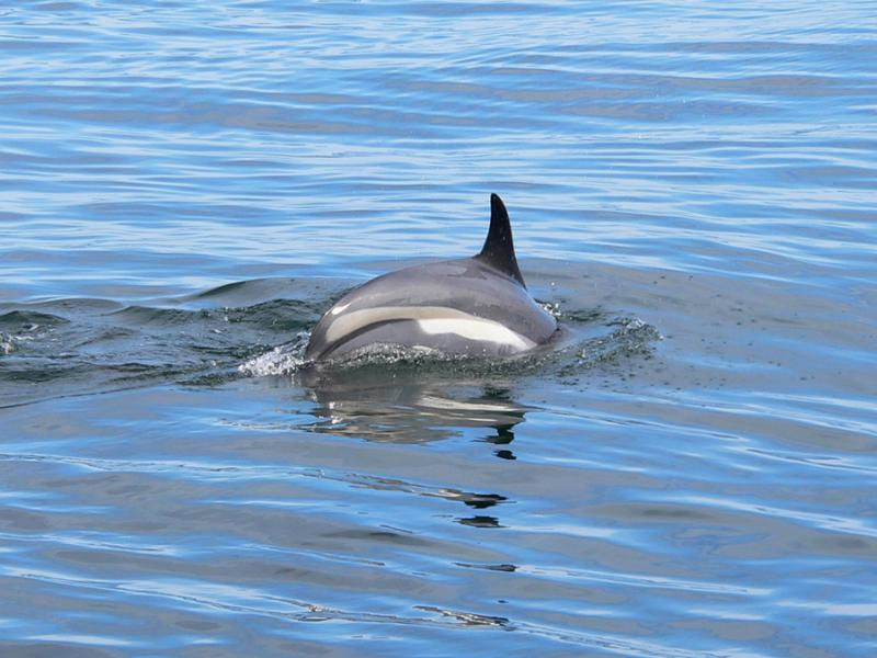 Atlantic White-sided Dolphin | Lagenorhynchus acutus photo