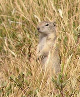 Belding's Ground Squirrel