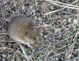Western Harvest Mouse