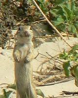 Spotted Ground Squirrel