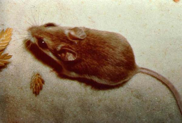 Oldfield Mouse   Peromyscus polionotus photo