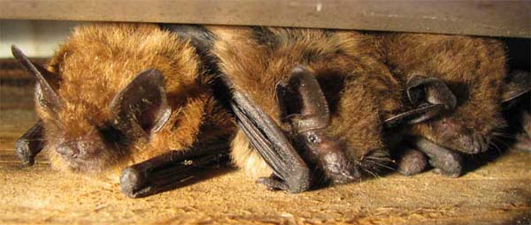 Big Brown Bat | Eptesicus fuscus photo