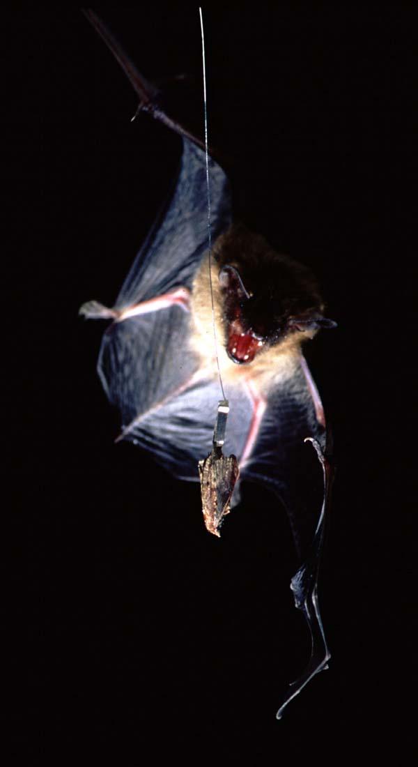 Big Brown Bat | Eptesicus fuscus photo