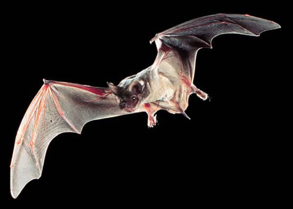 Brazilian Free-tailed Bat | Tadarida brasiliensis photo