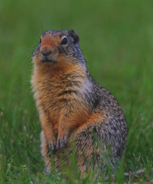 Columbian Ground Squirrel | Spermophilus columbianus photo