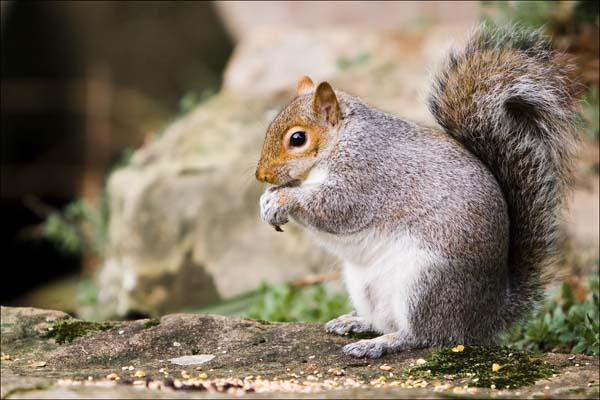 Eastern Gray Squirrel | Sciurus carolinensis photo