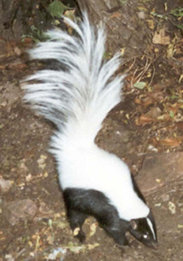 Hooded Skunk   Mephitis macroura photo