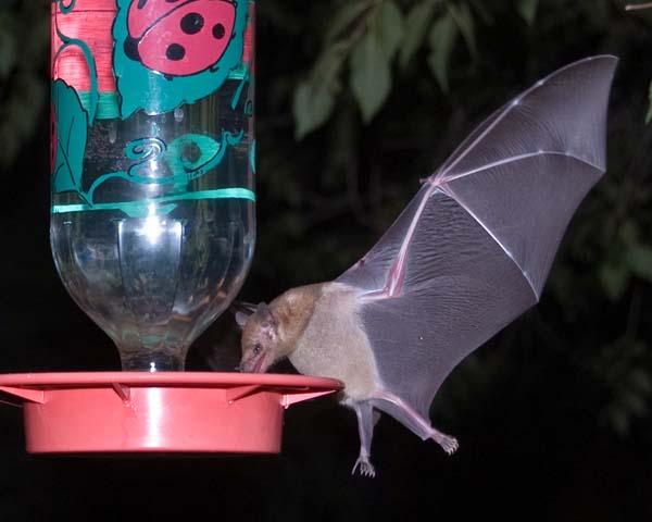 Mexican Long-tongued Bat | Choeronycteris mexicana photo