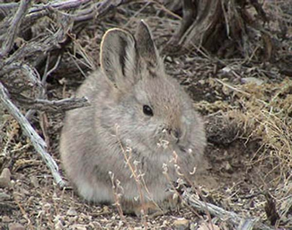Pygmy Rabbit | Brachylagus idahoensis photo