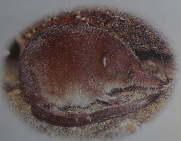 Pygmy Shrew | Sorex hoyi photo