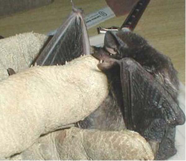 Silver-haired Bat   Lasionycteris noctivagans photo