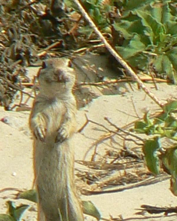 Spotted Ground Squirrel | Spermophilus spilosoma photo