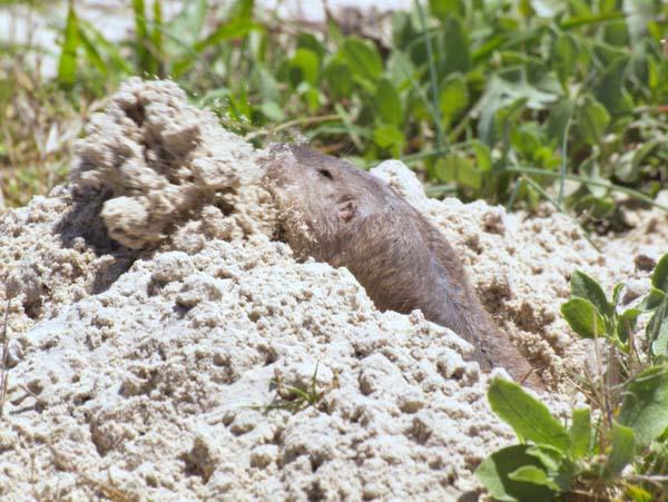 Texas Pocket Gopher | Geomys personatus photo