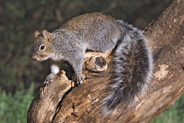 Western Gray Squirrel | Sciurus griseus photo