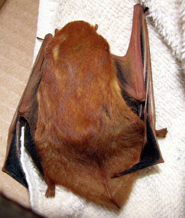 Western Red Bat | Lasiurus blossevillii photo