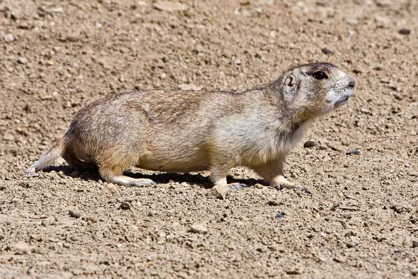 Wyoming Ground Squirrel | Spermophilus elegans photo