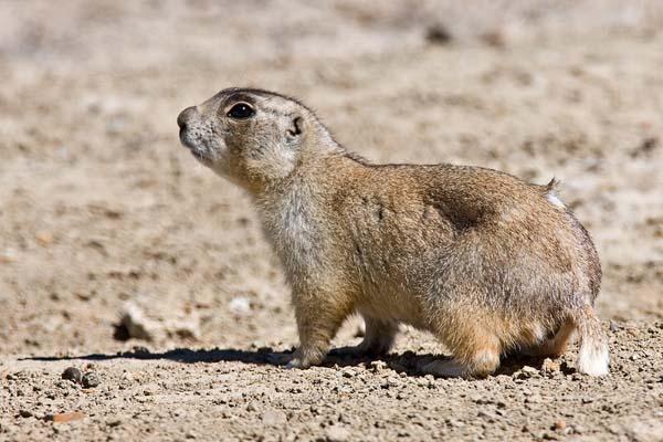 Wyoming Ground Squirrel   Spermophilus elegans photo