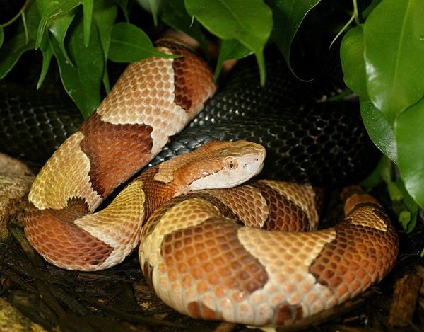 Osage Copperhead   Agkistrodon contortrix-phaeogaster photo