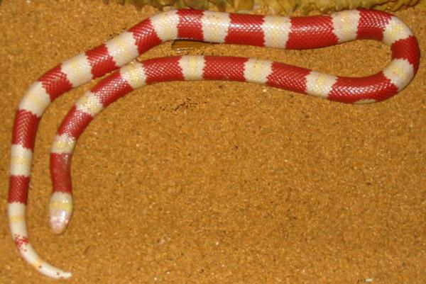 Nelson's Milk Snake   Lampropeltis triangulum-nelsoni photo