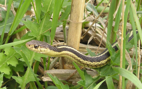 Common Garter Snake | Thamnophis sirtalis-sirtalis photo
