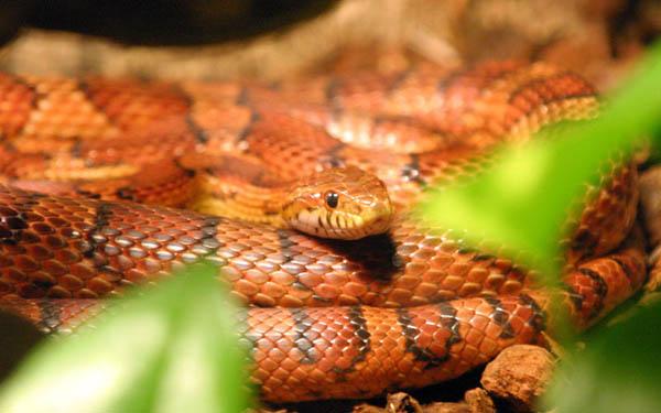 Corn Snake   Elaphe guttata photo