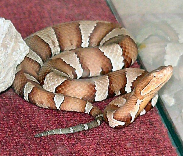 Trans-pecos Copperhead | Agkistrodon contortrix-pictigaster photo
