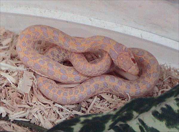 Checkered Garter Snake | Thamnophis marcianus-marcianus photo
