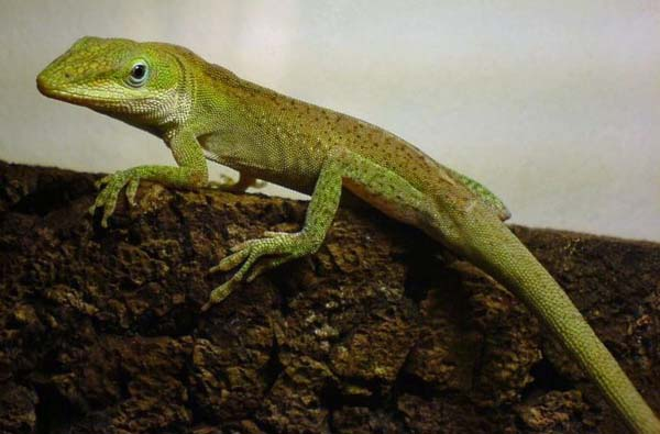 Green Anole | Anolis carolinensis photo