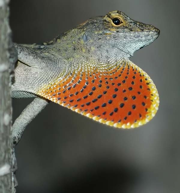 Brown Anole | Anolis sagrei photo