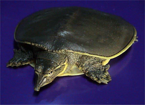 Spiny Softshell Turtle | Apalone spinifera photo