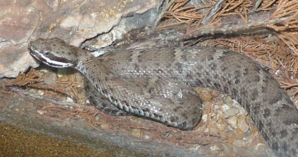 Arizona Ridgenose Rattlesnake | Crotalus willardi-willardi photo