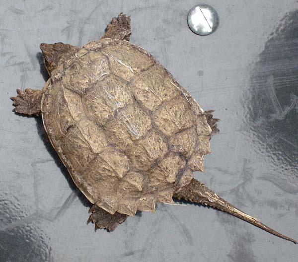 Alligator Snapping Turtle | Macroclemys temminckii photo