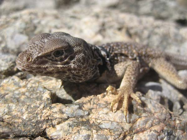 Mojave Black Collared Lizard | Crotaphytus bicinctores photo