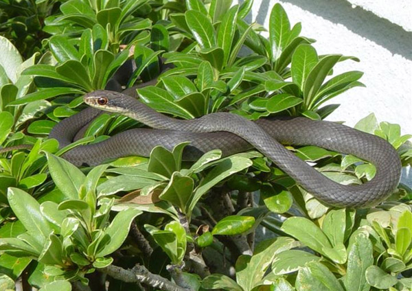 Black Racer | Coluber constrictor-priapus photo