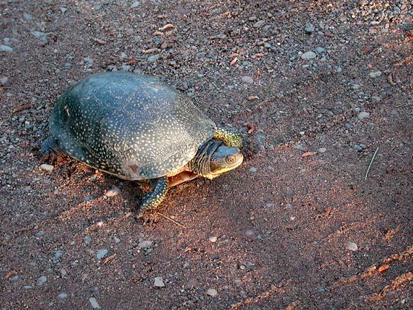 Blanding's Turtle | Emydoidea blandingii photo
