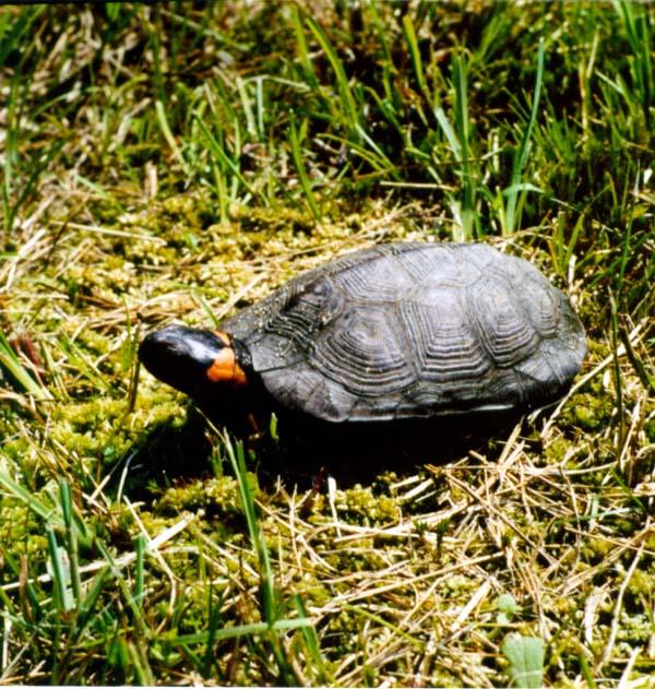 Bog Turtle | Glyptemys muhlenbergii photo