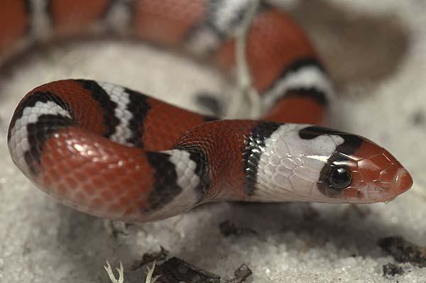 Scarlet Snake | Cemophora coccinea photo