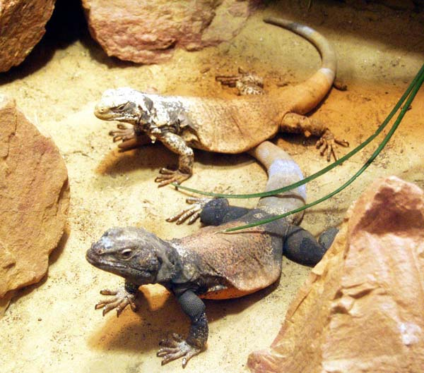 Chuckwalla | Sauromalus obesus photo