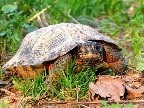 Wood Turtle | Glyptemys insculpta photo
